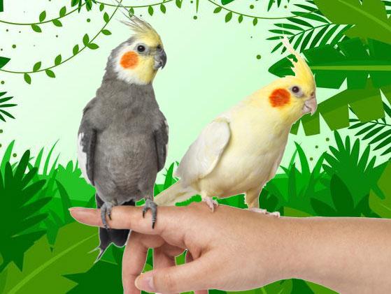 pareja de ninfas