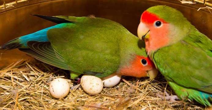 ¿Cuántos huevos pondrá una hembra de agapornis inseparables?
