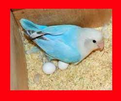 cuando ponen huevos los agapornis