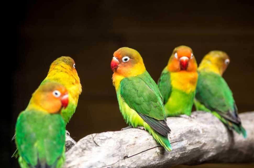 comportamiento y conducta de los agapornis pájaros
