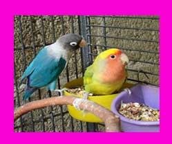 que comen los agapornis aves