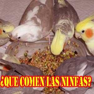 que comen las ninfas: nutrición y manutención de estos maravillosos pájaros y sus alimentos preferidos