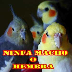 ninfas, aves y pájaros como mascotas